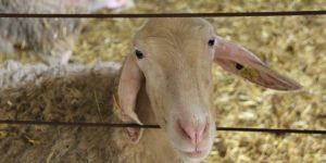 oveja assaf en la Quesería artesanal El Cabriteru
