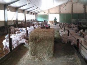 ovejas en la quesería artesanal El Cabriteru