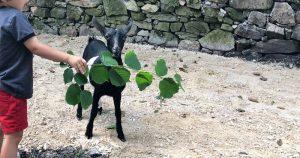visitar-granja-con-niños-Arenas-de-Cabrales-queseria-El-Cabriteru