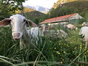 visitar granja de ovejas y cabras en Arenas de Cabrales