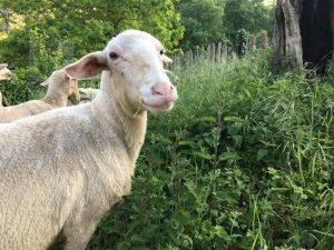 visitas quesería artesanal El Cabriteru granja de ovejas y cabras