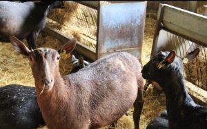 cabra murciano granadina en granja El Cabriteru