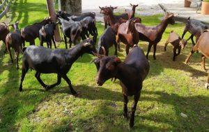 cabras Quesería El Cabriteru Cabrales